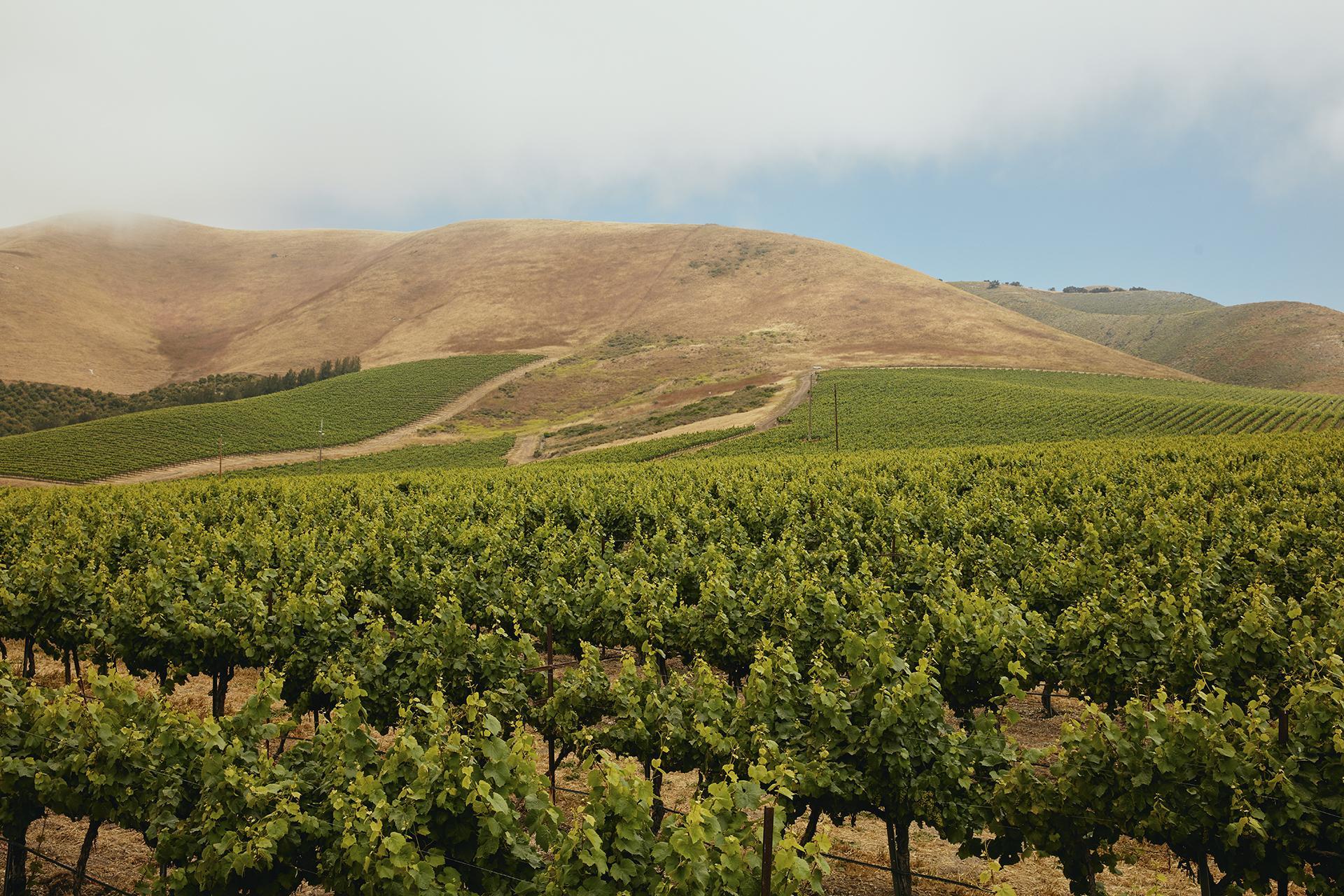 Cambria vineyards