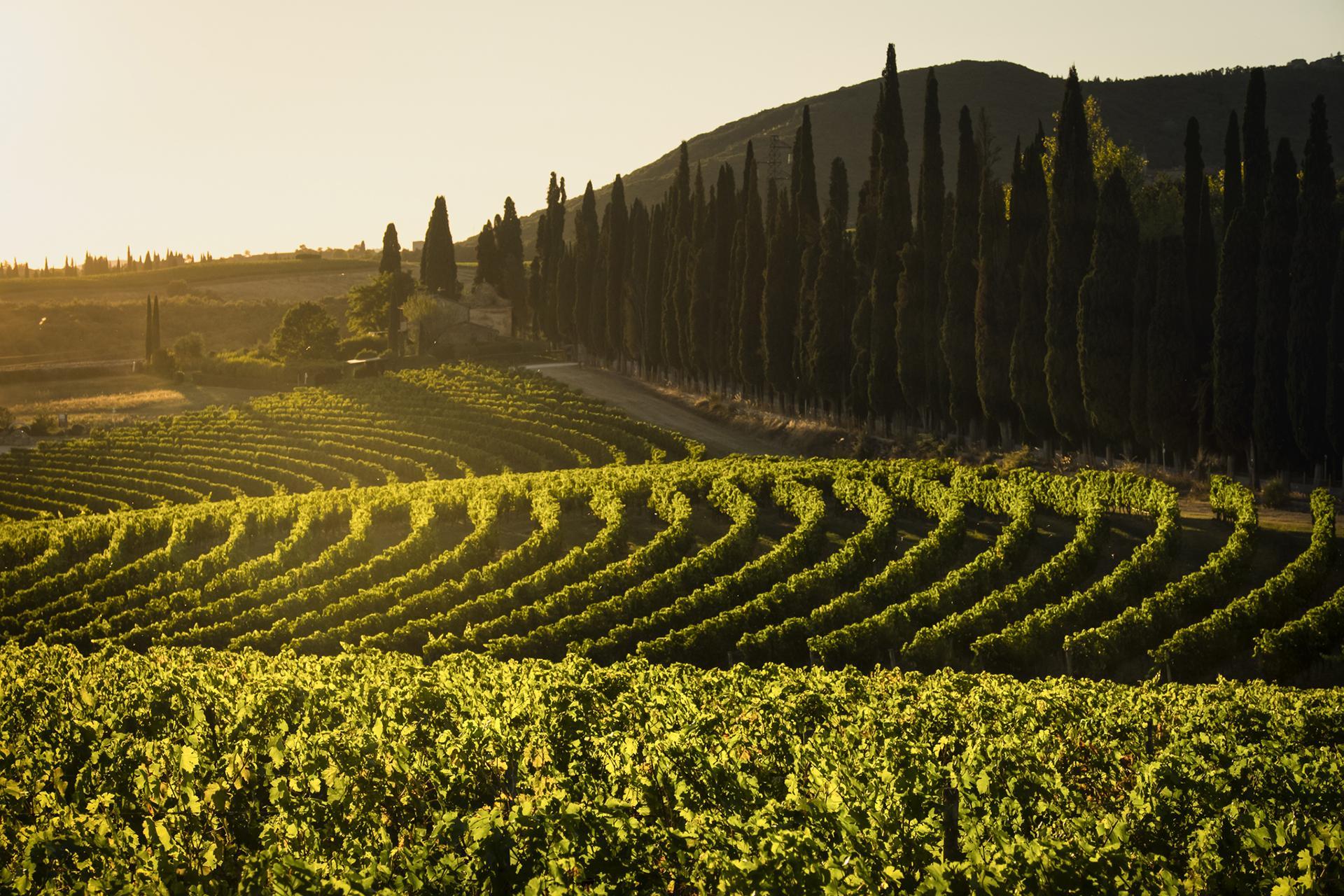Tenuta di Arceno Vineyards at Sunset